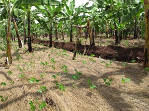 Mulching, terracing and cover cropping are the best ways of reducing soil erosion and retaining moisture and nutrient content in the soil.